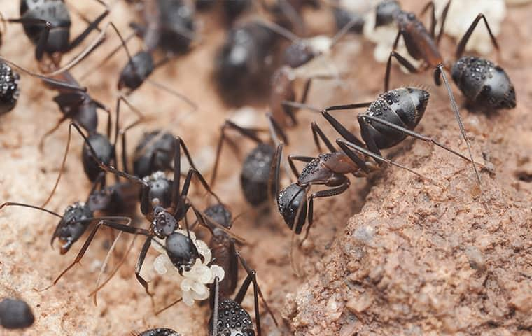 a might colony of ants infesting the grounds of an illinois property