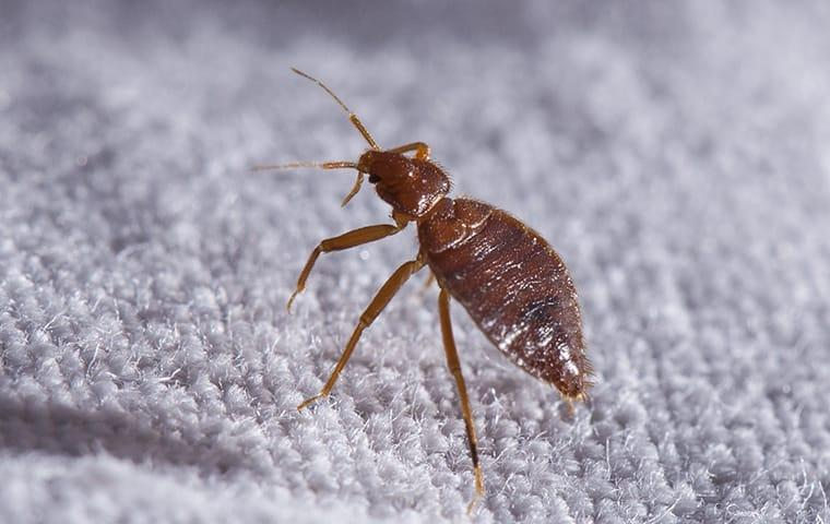 a bed bug infestaion with on the sheets of a rock island illinois home