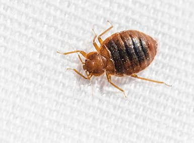 bed bug crawling across bed