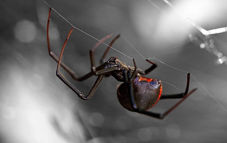a black widow spider on a web