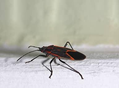 box elder bug on white background