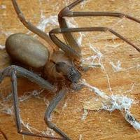a large brown recluse spider attacking its prey as he is spewing out his thick webbing on a davenport wooden structure