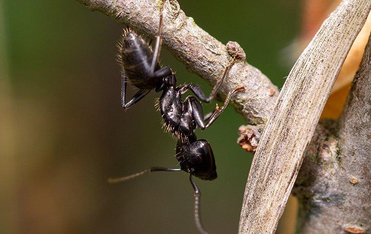 carpenter ant crawling on branch