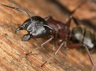 carpenter ants damaging wooden structure on streator property