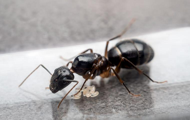 a carpenter ant destoying a wooden structure inside of a peoria illinois home