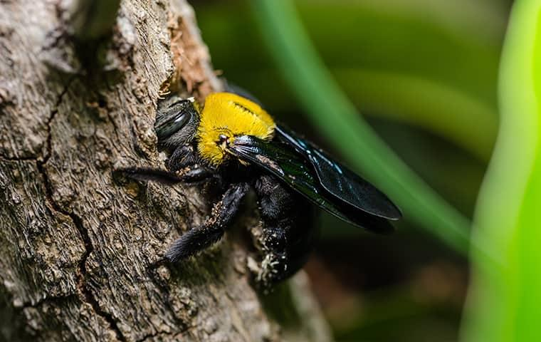 carpenter bee in illinios