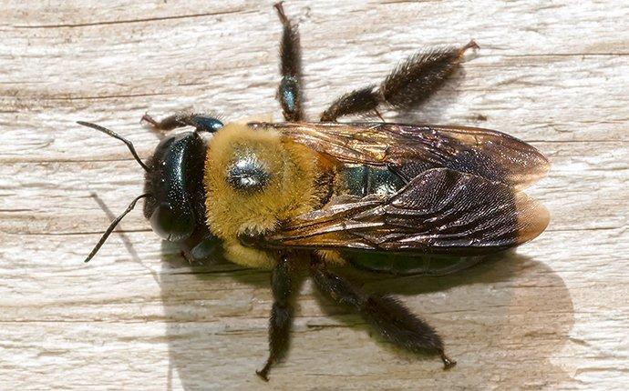 carpenter bee on wood
