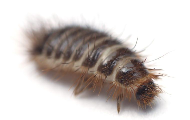 a carpet beetle larvae crawling along a rug in quad city Iowa