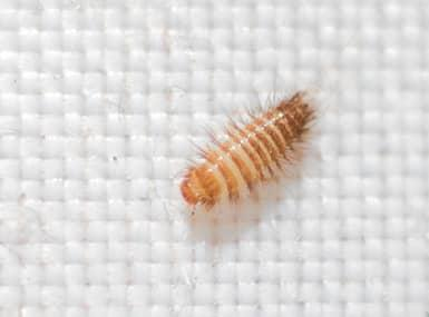 carpet beetle on white background