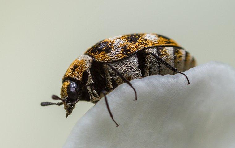 carpet beetle on a flower