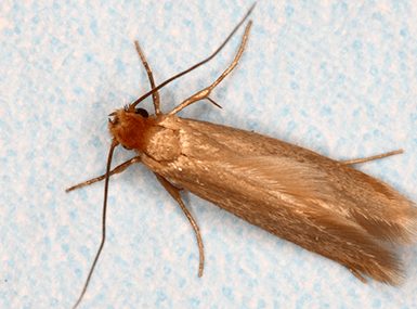 case-making clothes moth up close
