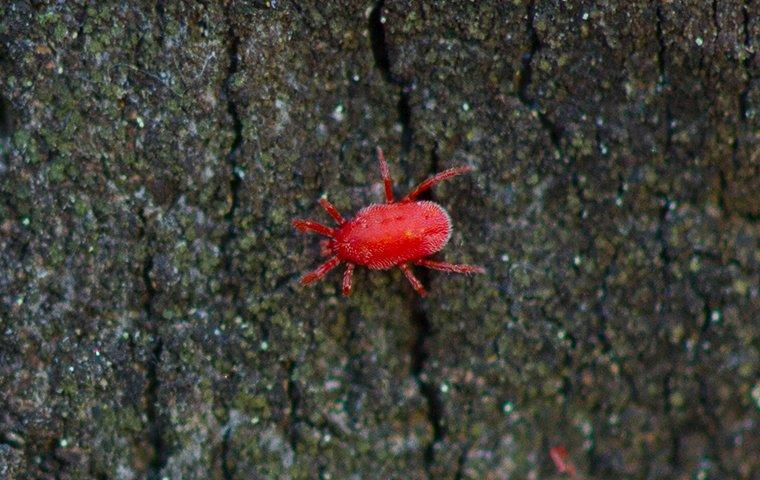 a clover mite crawling on a tree in teh backyard
