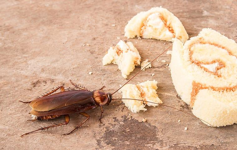 cockroach eating dropped food