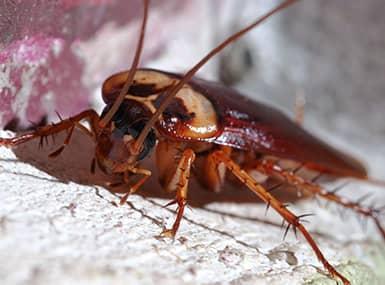 cockroach in illinios home