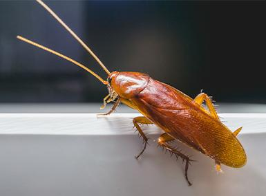 an american cockroach balancing along the edge of a white serving bowl in a rock island backyard picnic