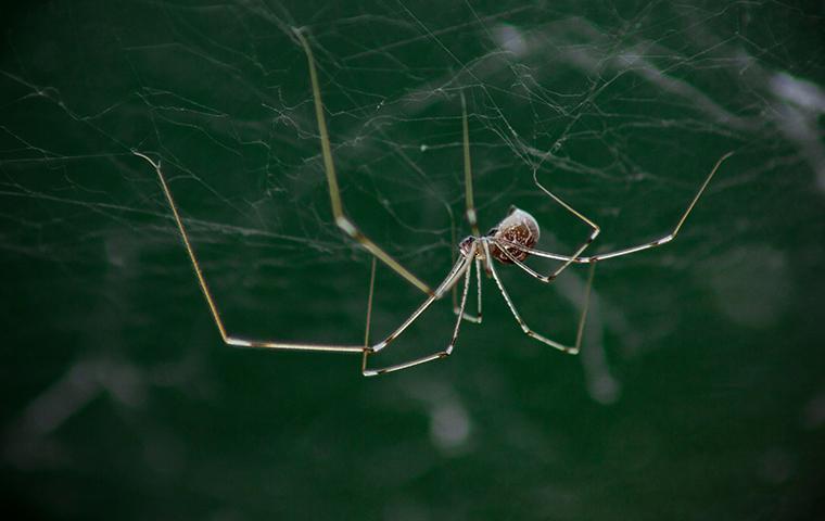 daddy long leg spider