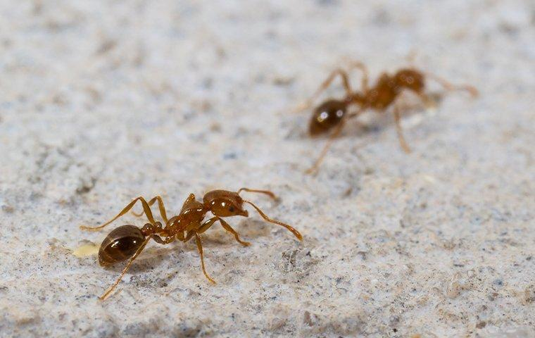 two fire ants crawling on a patio
