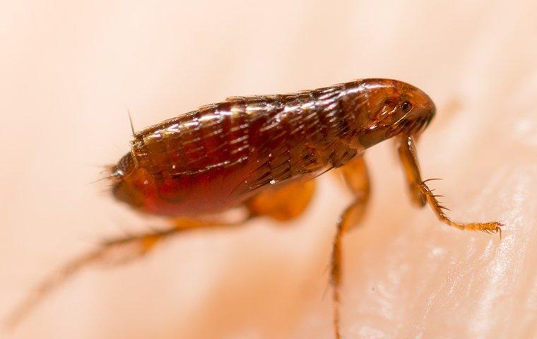 a flea jumping on a humans arm