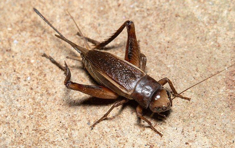 a house cricket crawling on a kitchen tile floor