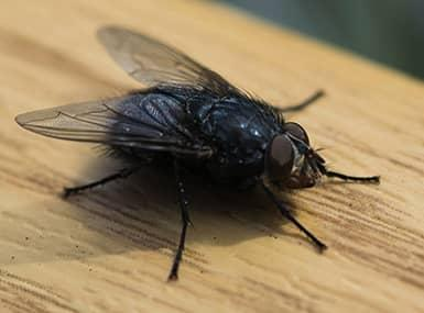 fly on table