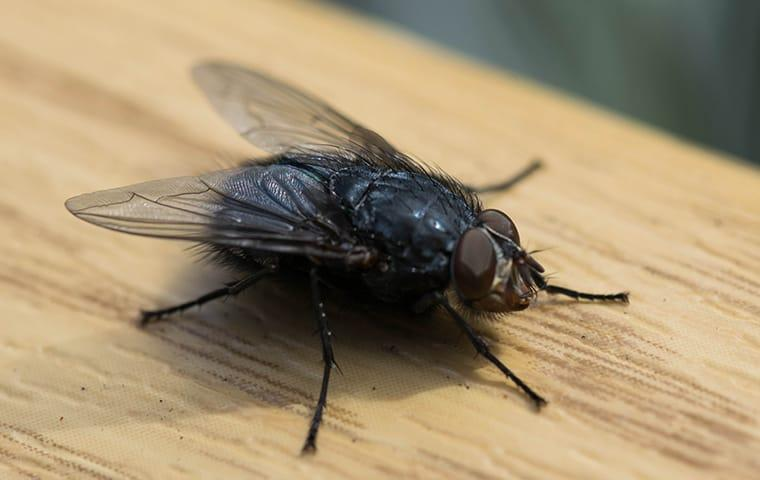 a house fly infestation in a streater illinois home