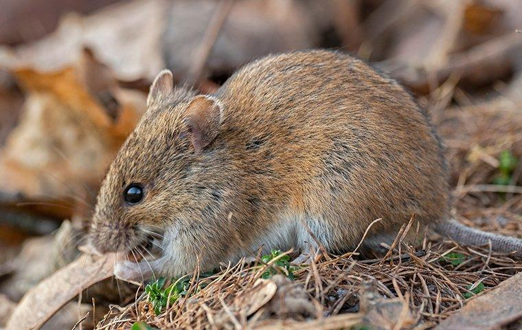 a house mouse eating food in brush
