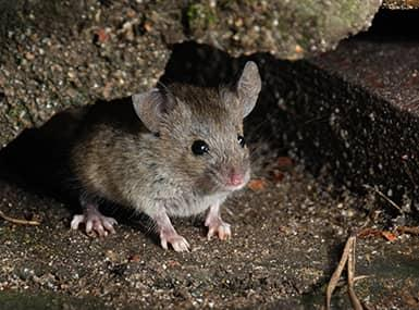 a house mouse hiding in the basement