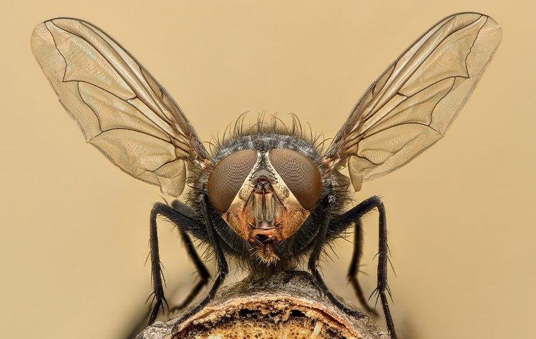 an up close image of a house fly preparing to fly away