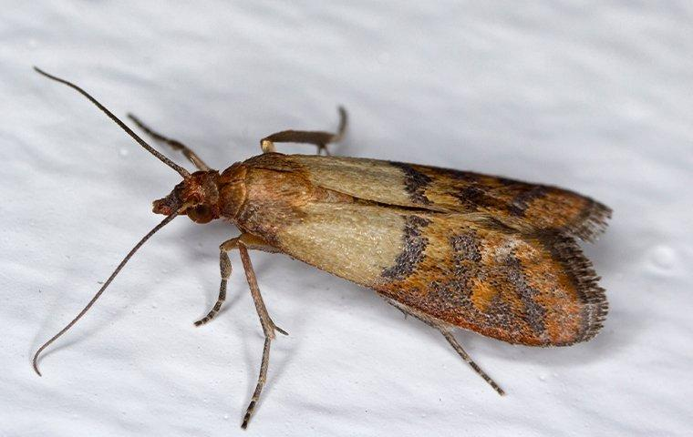 indian meal moth crawling in cupboard