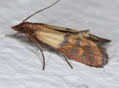 indian meal moth in sugar