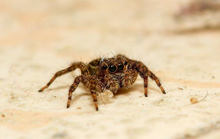 a jumping spider crawling on a kitchen floor