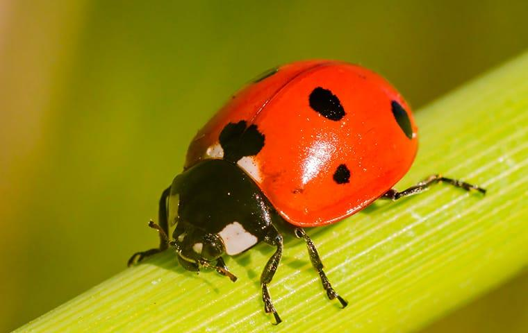 a vibrant orange tintes lady beetle crawlog along a green flower stem outside of a rock island home as a colony is infesting the residential garden