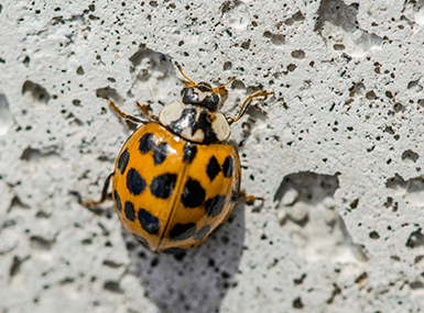 lady beetle crawling up foundation
