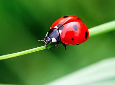 lady bug on a piece of grass