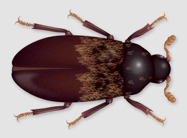 larder beetle illustration