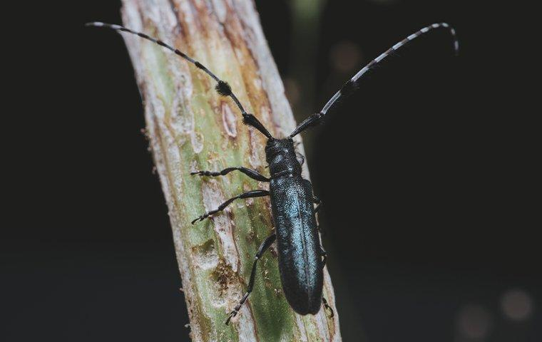 a long horned beetle on a plant stalk