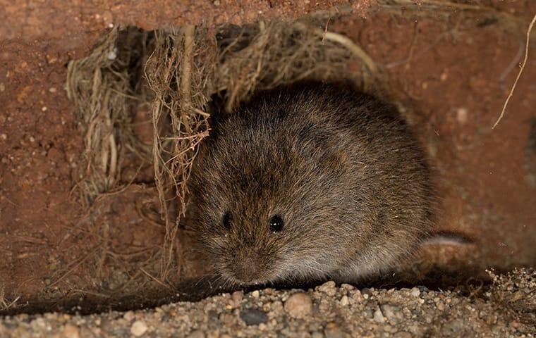 meadow vole in dirt