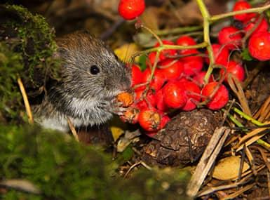 meadow vole eating berries in a field