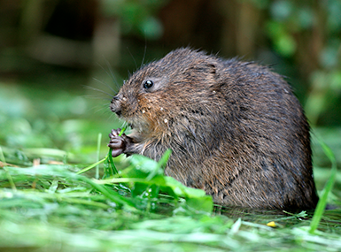meadow vole eating grass
