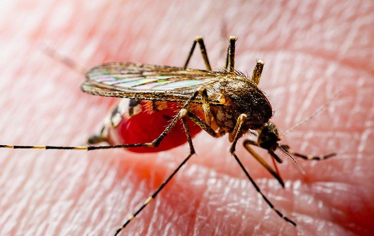 a mosquito sucking human blood
