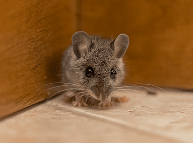 mouse hiding in corner of streator home
