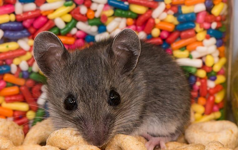a house mouse chewing through a quad city food pantry full of treats and cereal