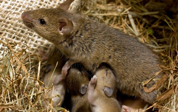 mouse with babies