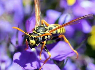 a black and yellow paper wasp invading a beautiful lilac garden in the quad city area