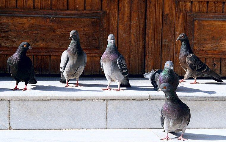 a flock of pigeons outside of a front door