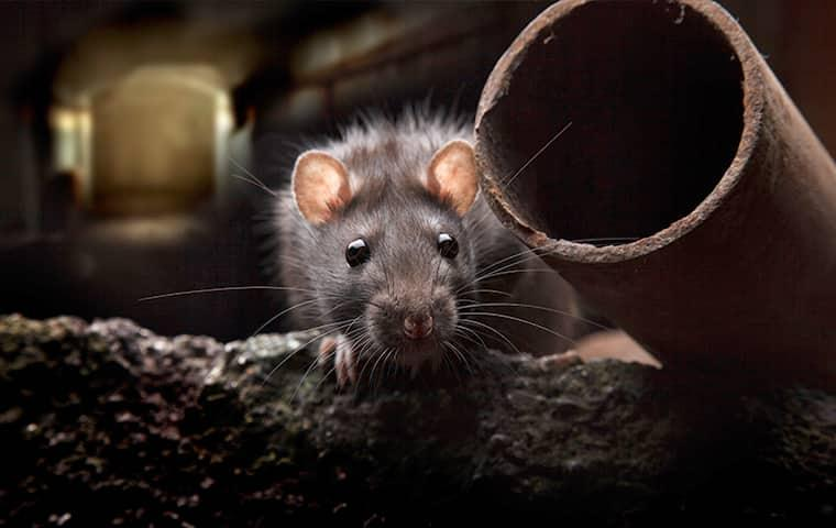 a rat crawling through a dark pipping inside of a streater illinois home durring the night