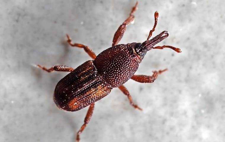 a red tinted rice Weevil hiding in a quad city food pantry