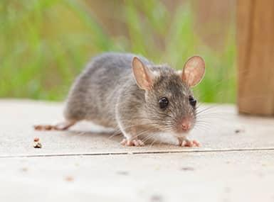 rodent outside an illinios home