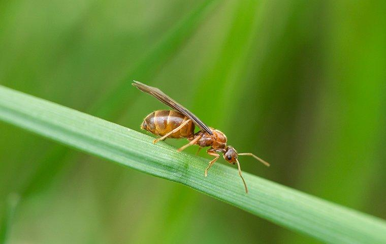 a small honey ant on a blade of grass