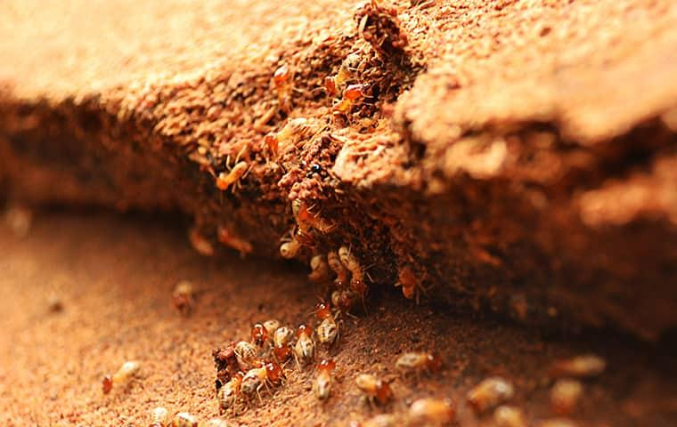 termites damaging wood